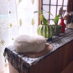 ねことの暮らし/猫との暮らし/ねこと暮らす もち?まんじゅう? 熟睡ちう💤💤💤(3枚目)