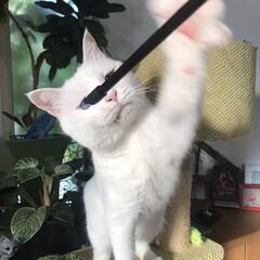 しろねこ/ねこと暮らす/ねことの暮らし/猫 おりゃあぁぁぁーー!(3枚目)