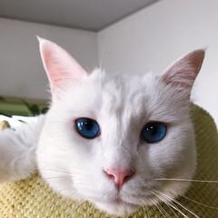 しろねこマロたん/白ねこ部/猫との暮らし/ねこと暮らす/猫/ねこ マロたんのブルーアイ💙(3枚目)