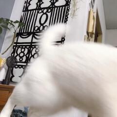 白ネコ/白ねこ/白猫/しろねこ/猫と暮らす/ねこと暮らす/... 何食べてんのでしゅか⁉️ くれないんでし…(5枚目)