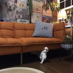 しろねこマロたん/白猫/元和室/ねこ/猫との暮らし/ねこと暮らす モニターをしているソファーベッドです。 …(6枚目)
