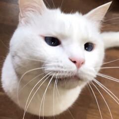 猫との暮らし/猫と暮らす 食べてると寄ってくる おねだりマロたん(4枚目)