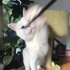 しろねこ/ねこと暮らす/ねことの暮らし/猫 おりゃあぁぁぁーー!(4枚目)