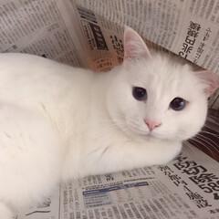ねこあるある/しろねこ/猫との暮らし 新聞読んでるとこうなる…💦