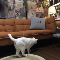 しろねこマロたん/白猫/元和室/ねこ/猫との暮らし/ねこと暮らす モニターをしているソファーベッドです。 …(5枚目)