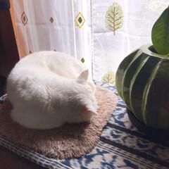 ねことの暮らし/猫との暮らし/ねこと暮らす もち?まんじゅう? 熟睡ちう💤💤💤