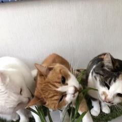エノコログサ争奪戦/エノコログサ/ねこ/猫/ねこと暮らす/猫との暮らし やったにゃ!今日はエノコロのお土産ニャ❤️(3枚目)