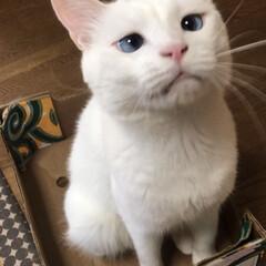 白猫マロたん/ペット/困り顔 ご多分にもれず箱が好きにゃ😻💓