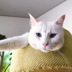 しろねこマロたん/白ねこ部/猫との暮らし/ねこと暮らす/猫/ねこ マロたんのブルーアイ💙(1枚目)