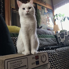 白ねこ部/猫/ねこと暮らす/猫との暮らし/ねこ/白猫/... 今日もカメラをむけると渋い顔 😂(3枚目)