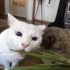 猫/ねこ/ねこと暮らす/白ねこ部/しろねこマロたん チラリと見える、ニャンコの白目が好き❤️(1枚目)