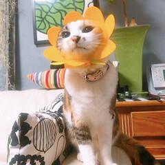 被り物/猫と暮らす/ペット お花の気持ち❤️ ウチでコレ似合うのはや…
