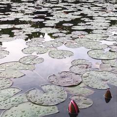 水蓮池/水蓮/早朝ウォーキング/散歩コース 今朝のウォーキングはご近所の水蓮池へ🐾🐾…(4枚目)