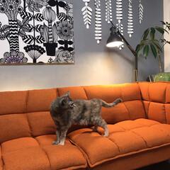 marimekkoパネル/セルフペイントの壁/ソファーベッド/猫との暮らし/ねこと暮らす/インテリア/... モニターをさせて頂いたソファーとニャンズ…(5枚目)