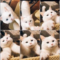 キャットタワー/猫と暮らす/ペット キャットタワーにぶら下がり 遊ぶマロたん…