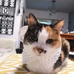 パフェ姐/みけねこ/猫/ねこ 何してくれちゃってるの💢💢 早く取ってよ…(2枚目)
