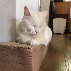 猫/ねこ/爪とぎ/猫と暮らす/にゃんこ同好会 斜めになってる爪とぎにしたら マロばかり…(3枚目)