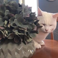 白猫/猫との暮らし/猫と暮らす/セルフペイント壁/しろねこ/ねこと暮らす/... テーブルの上で監視中?(4枚目)