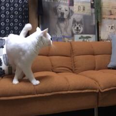 しろねこマロたん/白猫/元和室/ねこ/猫との暮らし/ねこと暮らす モニターをしているソファーベッドです。 …(3枚目)
