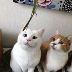 エノコログサ争奪戦/エノコログサ/ねこ/猫/ねこと暮らす/猫との暮らし やったにゃ!今日はエノコロのお土産ニャ❤️(2枚目)
