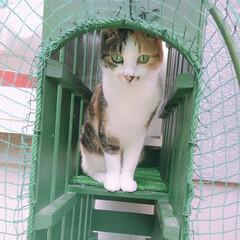キャットランへのトンネル/キャットラン/猫と暮らす/猫との暮らし パフェさんキャットランの入口トンネルで遊…
