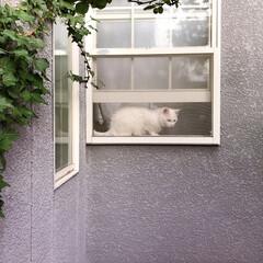 ニャルソック/白ねこ部/しろねこマロたん/ねこと暮らす/猫との暮らし/猫/... 窓からニャルソック❗👁✨(2枚目)