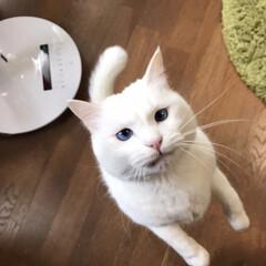 猫との暮らし/猫と暮らす 食べてると寄ってくる おねだりマロたん(6枚目)