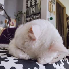 ごめん寝/ねこ/ペット/ねことの暮らし 💤💤ごめん寝ーー! 👀ハッ!手〜痺れてる…