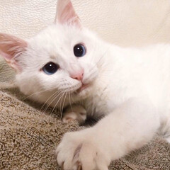 しろねこ/ねこと暮らす/ねことの暮らし/猫との暮らし 仔猫時代💓 もっと撮っときゃよかった😭(2枚目)