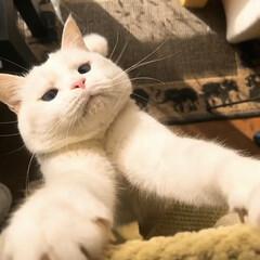 キャットタワー/猫と暮らす/ペット キャットタワーにぶら下がるマロたん…