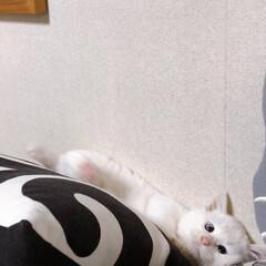 仔猫の頃/しろねこ/ねこと暮らす/ねことの暮らし 落ちちゃうよ〜💦(2枚目)