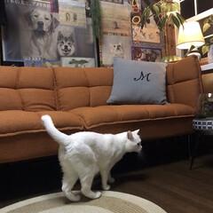 しろねこマロたん/白猫/元和室/ねこ/猫との暮らし/ねこと暮らす モニターをしているソファーベッドです。 …(4枚目)
