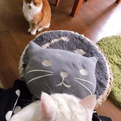 猫との暮らし/ねことの暮らし/猫と暮らす/ねこと暮らす 私の膝の上に乗ったマロたんを嫉妬するペコ…