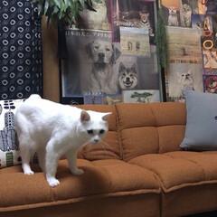しろねこマロたん/白猫/元和室/ねこ/猫との暮らし/ねこと暮らす モニターをしているソファーベッドです。 …(2枚目)