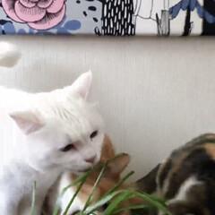 エノコログサ争奪戦/エノコログサ/ねこ/猫/ねこと暮らす/猫との暮らし やったにゃ!今日はエノコロのお土産ニャ❤️(5枚目)