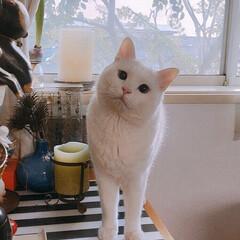 しろねこ/ねこと暮らす/ねことの暮らし/猫との暮らし 仔猫時代💓 もっと撮っときゃよかった😭