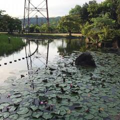 水蓮池/水蓮/早朝ウォーキング/散歩コース 今朝のウォーキングはご近所の水蓮池へ🐾🐾…(2枚目)