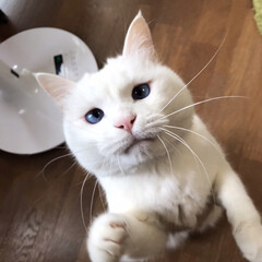 猫との暮らし/猫と暮らす 食べてると寄ってくる おねだりマロたん(1枚目)