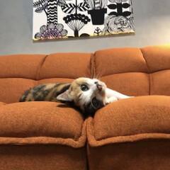 marimekkoパネル/セルフペイントの壁/ソファーベッド/猫との暮らし/ねこと暮らす/インテリア/... モニターをさせて頂いたソファーとニャンズ…(3枚目)