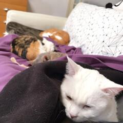 ソファー/ねことの暮らし/ねこと暮らす みんニャと一緒に寝たいけど…かーたんの膝…(6枚目)