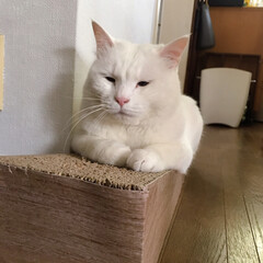 猫/ねこ/爪とぎ/猫と暮らす/にゃんこ同好会 斜めになってる爪とぎにしたら マロばかり…(2枚目)