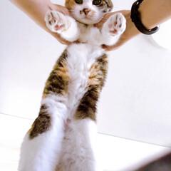 みけねこ/猫との暮らし/猫と暮らす パフェちゃん抱っこ! これで15歳(人間…
