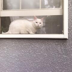 ニャルソック/白ねこ部/しろねこマロたん/ねこと暮らす/猫との暮らし/猫/... 窓からニャルソック❗👁✨(4枚目)