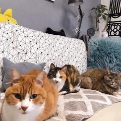 セルフペイント壁/ファブリックパネル手作り/猫との暮らし/ねこと暮らす ソファーはボク、ワタシ達のもんニャ!(2枚目)