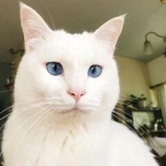 白猫マロ/猫と暮らす/ペット テーブルの上で 何かを企んでるよ〜💦