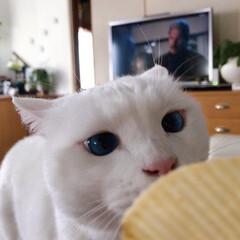 ねこと暮らす/ねことの暮らし/白ねこ部/しろねこマロたん マロたんもポテチ食べてみたいニャ!