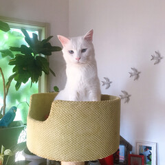 キャットタワー/ねことの暮らし/ねこと暮らす/猫 久しぶりにここで寝たニャン❤️