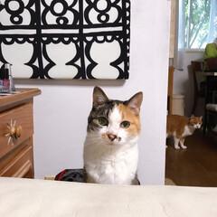 みけねこ/猫との暮らし/ねこと暮らす/猫/ねこ ごはんはまだかしら~?(2枚目)