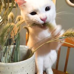 エノコログサ/ペット/セルフペイント壁 飾ってる草は 取りあえず噛む! (ネコあ…
