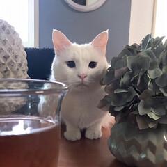 白猫/猫との暮らし/猫と暮らす/セルフペイント壁/しろねこ/ねこと暮らす/... テーブルの上で監視中?